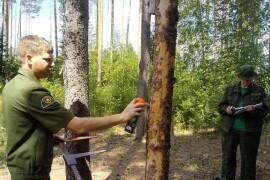 Лесничие Орехово‑Зуевского округа занимаются оздоровлением лесов