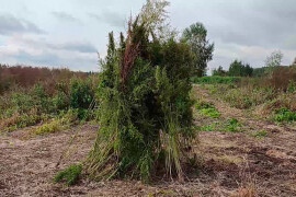 В Орехово-Зуеве полиция сожгла более 700 кустов дикорастущей конопли