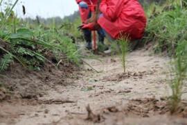 Искусственное лесовосстановление в Орехово-Зуевском округе подходит к завершению