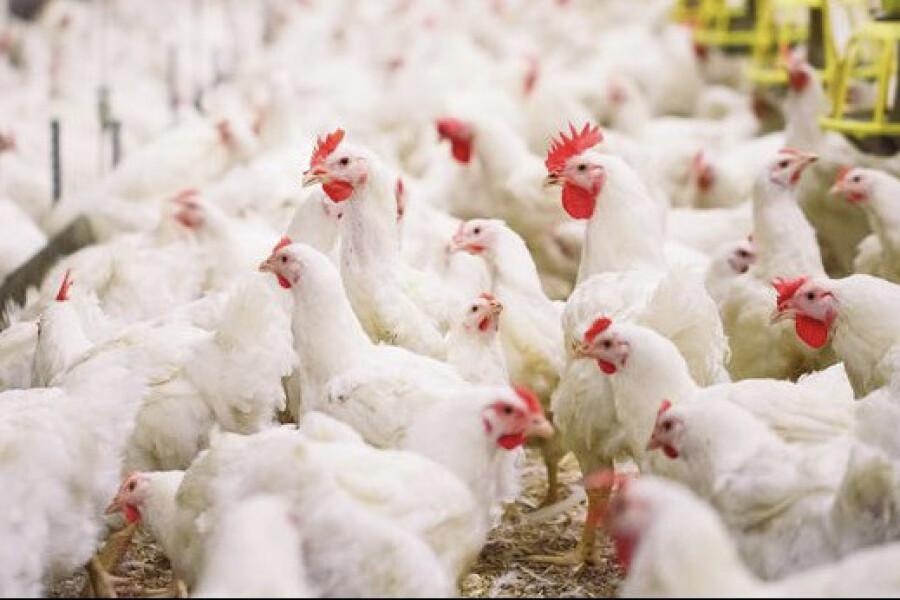 Орехово-Зуевская птицефабрика запустит первые 6 птичников