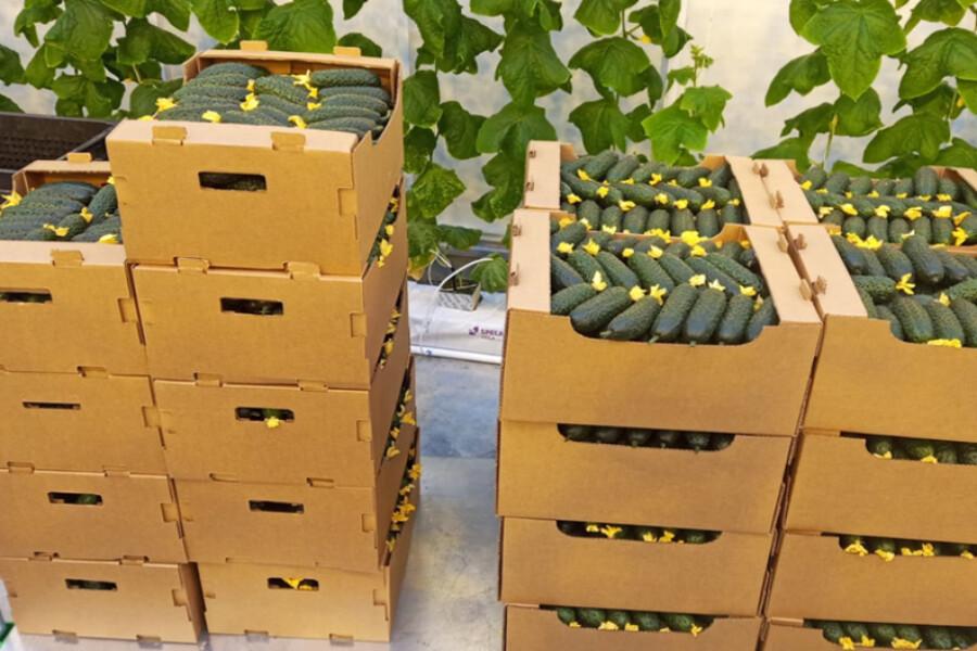 Область вошла в тройку регионов‑лидеров по производству овощей