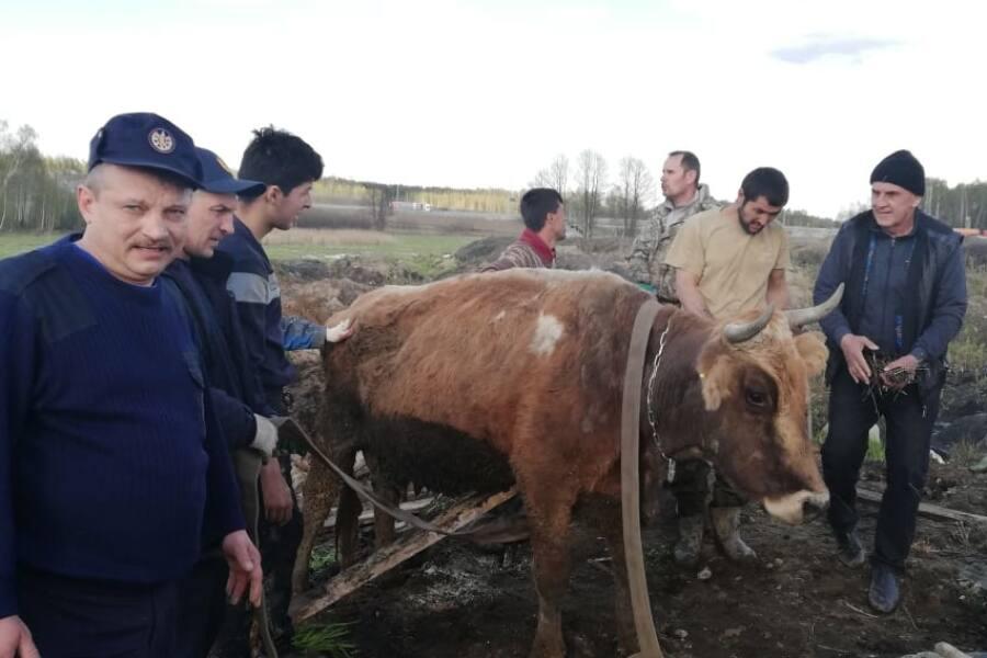 Спасатели ПЧ-254 г. Павловский Посад спасли из ямы стельную корову